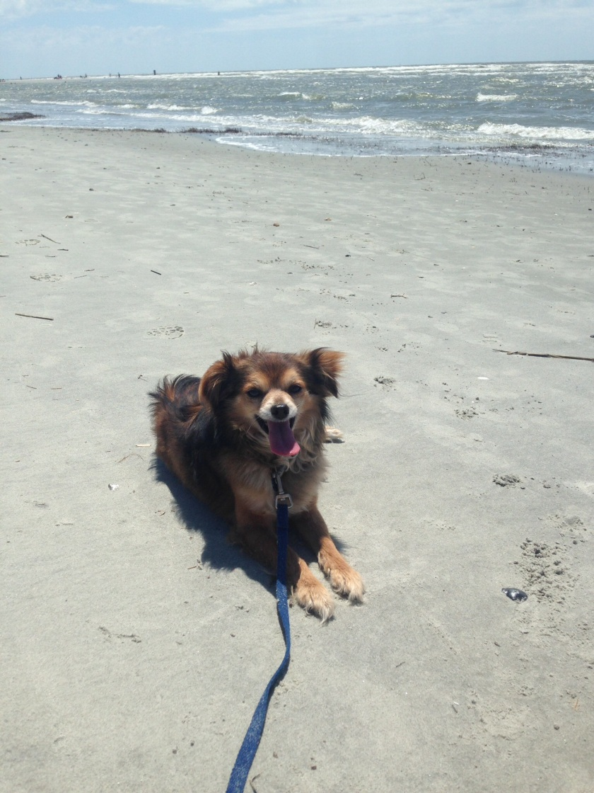 Happy Roscoe at the beach in Charleston!