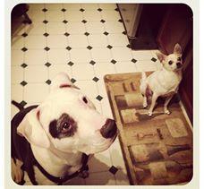 murdock - pitbull